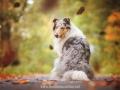 Hundemaedchen_Gaia_Langhaarcollie_52WochenHunde_Projekt2017_Collie (39)