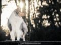 Hundemaedchen_Gaia_Langhaarcollie_52WochenHunde_Projekt2017_Collie (4)