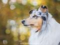 Hundemaedchen_Gaia_Langhaarcollie_52WochenHunde_Projekt2017_Collie (41)