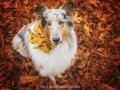 Hundemaedchen_Gaia_Langhaarcollie_52WochenHunde_Projekt2017_Collie (42)