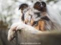 Hundemaedchen_Gaia_Langhaarcollie_52WochenHunde_Projekt2017_Collie (48)