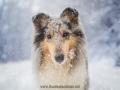 Hundemaedchen_Gaia_Langhaarcollie_52WochenHunde_Projekt2017_Collie (49)