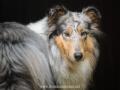 Hundemaedchen_Gaia_Langhaarcollie_52WochenHunde_Projekt2017_Collie (5)