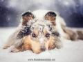 Hundemaedchen_Gaia_Langhaarcollie_52WochenHunde_Projekt2017_Collie (50)