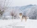 Hundemaedchen_Gaia_Langhaarcollie_52WochenHunde_Projekt2017_Collie (51)