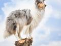 Hundemaedchen_Gaia_Langhaarcollie_52WochenHunde_Projekt2017_Collie (6)