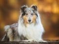 Hundemaedchen_Gaia_Langhaarcollie_52WochenHunde_Projekt2017_Collie (7)
