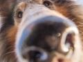 Hundemaedchen_Gaia_Langhaarcollie_52WochenHunde_Projekt2017_Collie (8)