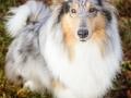 Hundemaedchen_Gaia_Langhaarcollie_52WochenHunde_Projekt2017_Collie (9)