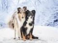 Hundemaedchen_Langhaarcollie_Amerikanisher_Border_Collie_Gaia_Maggy_bluemerle_tricolor_Winter_Schnee_Lassie_Huendin (7)