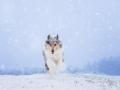 Hundemaedchen_Langhaarcollie_Amerikanisher_Collie_Gaia_Blue_Merle_Winter_Schnee_Lassie_Huendin (14)