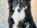 Hundemaechen_Maggy_Border_Collie_Mix_hundefotografie_Border_mischling_Winter__Schnee (16)