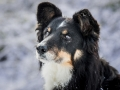 Hundemaechen_Maggy_Border_Collie_Mix_hundefotografie_Border_mischling_Winter__Schnee (17)