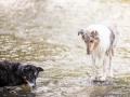hundefotografie_tierfotografie_Marburg_Hunde_Fotograf_Hemlep_Hunde_Maggy_Border_Collie_Mischling_Gaia_Langhaarcollie_tricolor_blue_merle (24)
