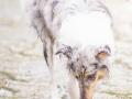 hundefotografie_tierfotografie_Marburg_Hunde_Fotograf_Hemlep_Hunde_Maggy_Border_Collie_Mischling_Gaia_Langhaarcollie_tricolor_blue_merle (28)