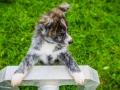 Akita_Inu_Hund_Welpe_puppy_Marburg_Langhaarcollie_blue_merle_Greyhound_Border_Collie_Mischling_Wiese_Gaia_Maggy_Basima_Bella_Baby (120)