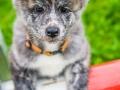 Akita_Inu_Hund_Welpe_puppy_Marburg_Langhaarcollie_blue_merle_Greyhound_Border_Collie_Mischling_Wiese_Gaia_Maggy_Basima_Bella_Baby (126)