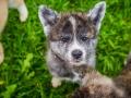Akita_Inu_Hund_Welpe_puppy_Marburg_Langhaarcollie_blue_merle_Greyhound_Border_Collie_Mischling_Wiese_Gaia_Maggy_Basima_Bella_Baby (130)