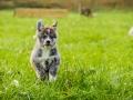Akita_Inu_Hund_Welpe_puppy_Marburg_Langhaarcollie_blue_merle_Greyhound_Border_Collie_Mischling_Wiese_Gaia_Maggy_Basima_Bella_Baby (27)