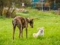 Akita_Inu_Hund_Welpe_puppy_Marburg_Langhaarcollie_blue_merle_Greyhound_Border_Collie_Mischling_Wiese_Gaia_Maggy_Basima_Bella_Baby (29)