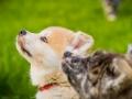 Akita_Inu_Hund_Welpe_puppy_Marburg_Langhaarcollie_blue_merle_Greyhound_Border_Collie_Mischling_Wiese_Gaia_Maggy_Basima_Bella_Baby (33)