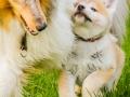 Akita_Inu_Hund_Welpe_puppy_Marburg_Langhaarcollie_blue_merle_Greyhound_Border_Collie_Mischling_Wiese_Gaia_Maggy_Basima_Bella_Baby (41)