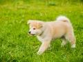 Akita_Inu_Hund_Welpe_puppy_Marburg_Langhaarcollie_blue_merle_Greyhound_Border_Collie_Mischling_Wiese_Gaia_Maggy_Basima_Bella_Baby (47)