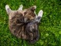 Akita_Inu_Hund_Welpe_puppy_Marburg_Langhaarcollie_blue_merle_Greyhound_Border_Collie_Mischling_Wiese_Gaia_Maggy_Basima_Bella_Baby (60)