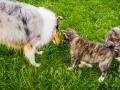 Akita_Inu_Hund_Welpe_puppy_Marburg_Langhaarcollie_blue_merle_Greyhound_Border_Collie_Mischling_Wiese_Gaia_Maggy_Basima_Bella_Baby (62)