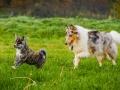 Akita_Inu_Hund_Welpe_puppy_Marburg_Langhaarcollie_blue_merle_Greyhound_Border_Collie_Mischling_Wiese_Gaia_Maggy_Basima_Bella_Baby (71)
