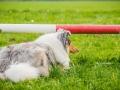 Akita_Inu_Hund_Welpe_puppy_Marburg_Langhaarcollie_blue_merle_Greyhound_Border_Collie_Mischling_Wiese_Gaia_Maggy_Basima_Bella_Baby (80)