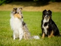 Langhaarcollie_Rough_Border_Collie_Mischling_Gaia_Welpe_Maggy_bluemerle_tricolor_Hundefreunde_Marburg_Lahnwiese_Huetehunde_Christine_Hemlep (3)