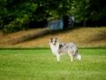 Langhaarcollie_Rough_Collie_Gaia_bluemerle_welpe_Marburg_Lahnwiese_Fotografin_Christine_Hemlep_Hundefotografie_Tierfotografie (3)