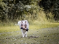 Langhaarcollie_Rough_Collie_bluemerle_Gaia_Welpe_Baby_Hund_Hundefotografie_Tierfotografie_Marburg_Dummy_Fotografin_Christine_Hemlep (5).jpg