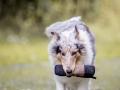 Langhaarcollie_Rough_Collie_bluemerle_Gaia_Welpe_Baby_Hund_Hundefotografie_Tierfotografie_Marburg_Dummy_Fotografin_Christine_Hemlep (7).jpg