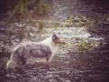 Langhaarcollie_Rough_Collie_bluemerle_Gaia_Welpe_Bbay_Hund_Hundefotografie_Tierfotografie_Marburg_Lahn_Wasser_Fotografin_Christine_Hemlep (9).jpg