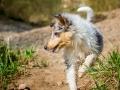 Langhaarcollie_Rough_Collie_Welpe_bluemerle_Gaia_Baby_Tierbaby_Hund_Puppy_Marburg_Lahn_HemlepFotografie (11)