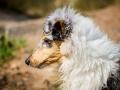 Langhaarcollie_Rough_Collie_Welpe_bluemerle_Gaia_Baby_Tierbaby_Hund_Puppy_Marburg_Lahn_HemlepFotografie (13)
