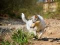 Langhaarcollie_Rough_Collie_Welpe_bluemerle_Gaia_Baby_Tierbaby_Hund_Puppy_Marburg_Lahn_HemlepFotografie (15)
