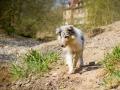 Langhaarcollie_Rough_Collie_Welpe_bluemerle_Gaia_Baby_Tierbaby_Hund_Puppy_Marburg_Lahn_HemlepFotografie (21)