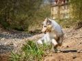 Langhaarcollie_Rough_Collie_Welpe_bluemerle_Gaia_Baby_Tierbaby_Hund_Puppy_Marburg_Lahn_HemlepFotografie (31)