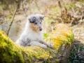 Langhaarcollie_Rough_Collie_Welpe_bluemerle_Gaia_Baby_Tierbaby_Hund_Puppy_Marburg_Lahn_HemlepFotografie (39)