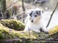 Langhaarcollie_Rough_Collie_Welpe_bluemerle_Gaia_Baby_Tierbaby_Hund_Puppy_Marburg_Lahn_HemlepFotografie (47)