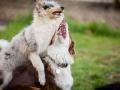 Maggy_Gaia_Jeannie_Nele_Langhaarcollie_Rough_Border_Collie_Mischling_Australian_shepherd_Aussie_tricolor_bluemerle_redtri_w (9)