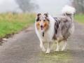 Hund_Langhaarcollie_Collie_Gaia_Blue_merle_Marburg_Giessen_Hundefotografie_Fotografie_Tierfotografie (10)