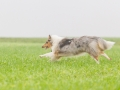 Hund_Langhaarcollie_Collie_Gaia_Blue_merle_Marburg_Giessen_Hundefotografie_Fotografie_Tierfotografie (16)