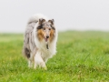 Hund_Langhaarcollie_Collie_Gaia_Blue_merle_Marburg_Giessen_Hundefotografie_Fotografie_Tierfotografie (19)