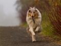 Hund_Langhaarcollie_Collie_Gaia_Blue_merle_Marburg_Giessen_Hundefotografie_Fotografie_Tierfotografie (7)