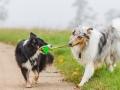 Hund_Langhaarcollie_Collie_Gaia_Blue_merle_Mischling_Maggy_Border_Collie_tricolor_Marburg_Giessen_Hundefotografie_Fotografie_Tierfotografie (8)
