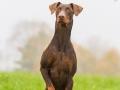 Hund_brauner_Dobermann_Spencer_Marburg_Giessen_Hundefotografie_Fotografie_Tierfotografie  (26)